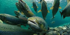 First GMO Animal, Otherwise Known as the Frankenfish, Poised for Approval