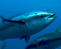 The Blue Fin Tuna will Be Fished to Extinction Unless Global Consortium Acts Now