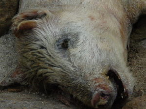 Farm Sanctuary Seeks Justice Upon Discovering Nearly 1000 Pigs Starved to Death on Pennsylvania Farm
