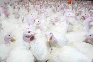 A New Video Exposes the Realities Behind the Commercial Turkey Industry