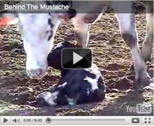 The Hidden Casualties of the Dairy Industry: Male Calves
