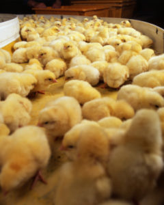 Hatcheries Ship Male Chicks as Packing Material