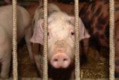 pig in a factory farm
