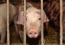 Iowa's answer to inhumane treatment of animals? Shoot the messenger.