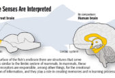 An illustration comparing how senses are interpreted in the brain of a trout and a human brain. Courtesy of Der Spiegel