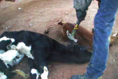 Hidden camera photos taken of dairy farm worker beating baby calves with a hammer