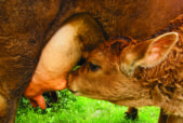 A mother cow's milk is perfectly forumlated by
