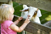 Young girl with curious goat (photo credit: istockphoto.com)