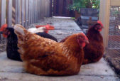 Sandye the mother hen with the other girls napping around her.