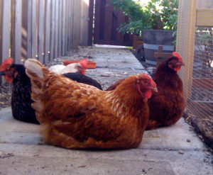 The Chicken Chronicles Part IV: Sandye — Mother Hen and Free Spirit
