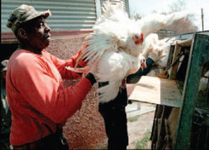 Contamination and Cruelty in the Chicken Industry
