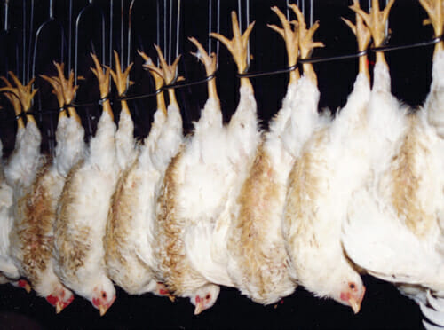 Chickens shackled and on an assembly slaughter line