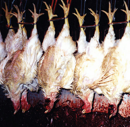 chickens shackled and undergoing slaughter