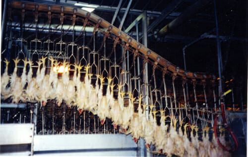 Chickens shackled and awaiting slaughter