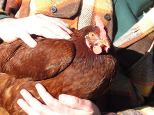 Doris the Hen's Amazing Recovery and What Most Don't Know about Eggs