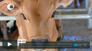 New Video: Moving Story of the 'Bobby' Dairy Calf