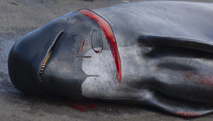 With 2 Million Pounds of Unwanted Whale Meat in Freezers, Japanese Government Provides 30 Million for New Hunt