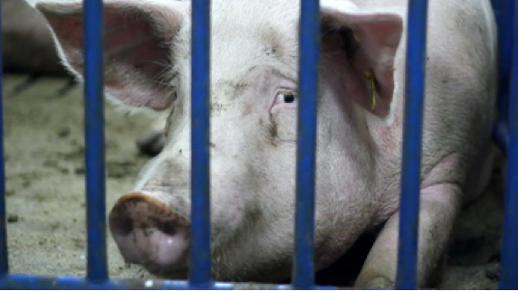 pigs behind bars