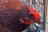 doris the hen