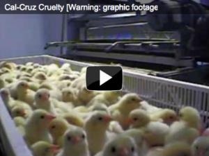 Cal-Cruz Chicken Hatchery Investigation, 2010