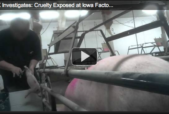 Compassion Over Killing Pig Investigation