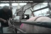 Compassion Over Killing Pig Investigation