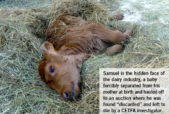 Samuel the discarded dairy calf