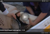 hen rescued from factory egg farm in california