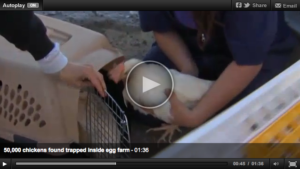 50,000 Egg Laying Hens Found Emaciated and Starving on California Farm