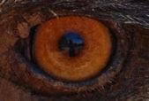 close up of eye of a chicken