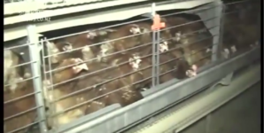 From Battery Cages to Colony Cages: Progress for Egg Laying Hens?