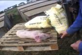 East Anglian Pig Company investigation