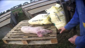 UK Pig Farm Investigation Exposes Horrific Suffering in High Welfare Facilities