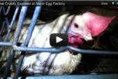 HSUS Egg investigation
