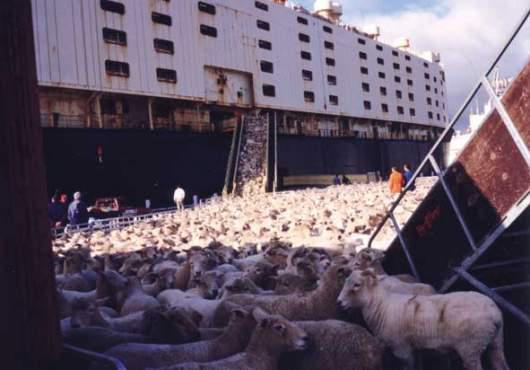 sheep being herded of a container ship