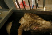 A day in an Italian slaughterhouse. Photo by Francesco Scipioni