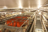 enriched battery cage hen building