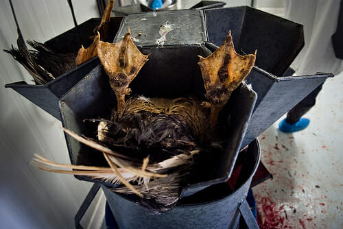 The Foie Gras industry and the slaughter of ducks and geese is a gruesome and living hell