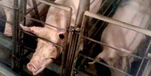Investigation of Walmart Pork Supplier Exposes Abject Misery for Sows and Piglets