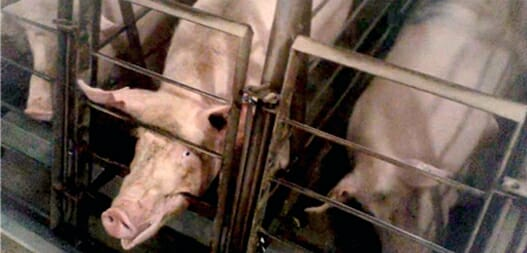 Mercy for Animals investigation of pig farm
