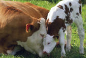 mother dairy cow and calf