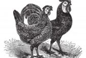 vintage engraving of rooster and hen
