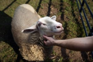 goat rescued by Woodstock Farm Animal Sanctuary