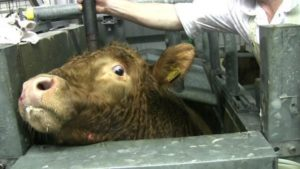 photo of cow being stunned in a slaughterhouse