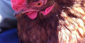 Doris the Hen and the 50-Million-Year-Old Legacy of Motherhood
