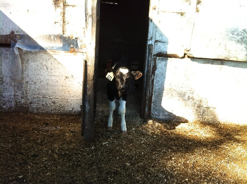A lonely calf meekly greeted me with curiosity as I approached the shed.
