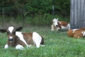 A still from the Farm Sanctuary video showing a mother cow caring for her calves