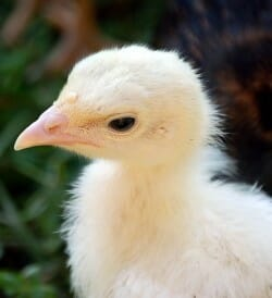 a close up portrait of a turkey chick