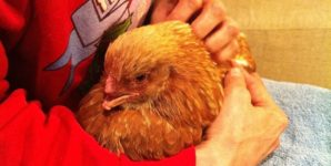 Angelica: The Thanksgiving Day Hen