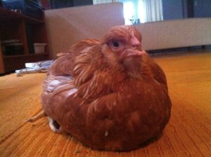 Angelica the Hen: Rescued on Thanksgiving Day, Back from the Hospital!